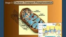 Electron Transport Phosphorylation