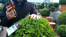 How to Trim your Topiary with Paul at Bents Garden & Home