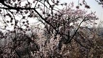 _DSC4028 Mittelwihr Mandelberg colline des amandiers en fleurs