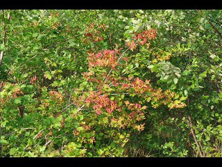 Cranberry Viburnums... A Birding Favorite