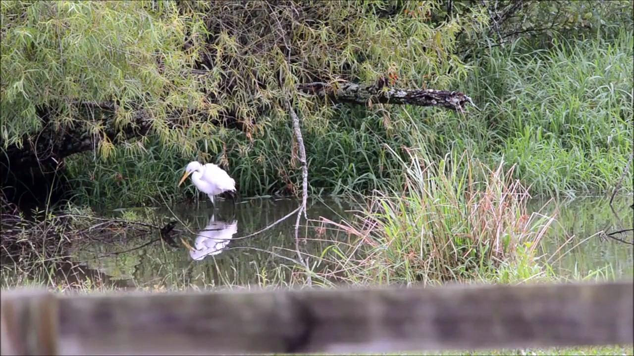 Cattle Egret, Hunting
