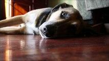 Dog Sleeping On The Floor (German Shepherd Mix) {Photos/Time Lapse} [Albus]