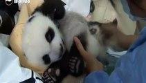 Dix bébés pandas géants en deux mois, les naissances se multiplient en Chine