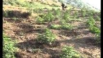 Lufta kundër parcelave me Kanabis. Përplasje me armë me policinë në Mat e Shkodër