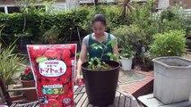 支柱立て編 【KAGOME かるーいトマトの土】でトマトを育てる。