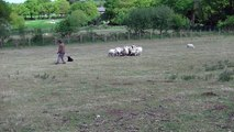 shebear berger pyrenees age 12 mois en dressage mouton