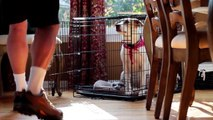 Puppy Crate Training: Iams® Puppy Training