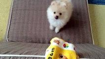 赤ちゃんポメラニアン Pomeranian baby