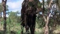 Honey Badger Narrates: The Intoxicating Marula Trees of South Africa (original narration by Randall)