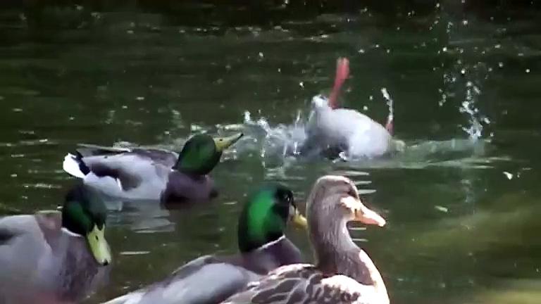 Slowmotion Ducks impressive shots of ducks washing themselves -) Enten waschen in Zeitlupe