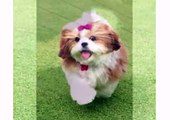 Puppy Shih Tzu and Dogs Animal - Funny Dog Videos