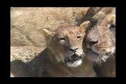 Lady Lion Licks Little Lion Lovingly