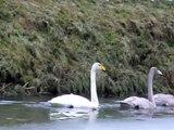 Wilde Zwaan (Cygnus cygnus, Whooper Swan)