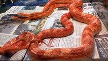 Cópula de Serpiente del maíz (Pantherophis guttatus) Amel x Amel