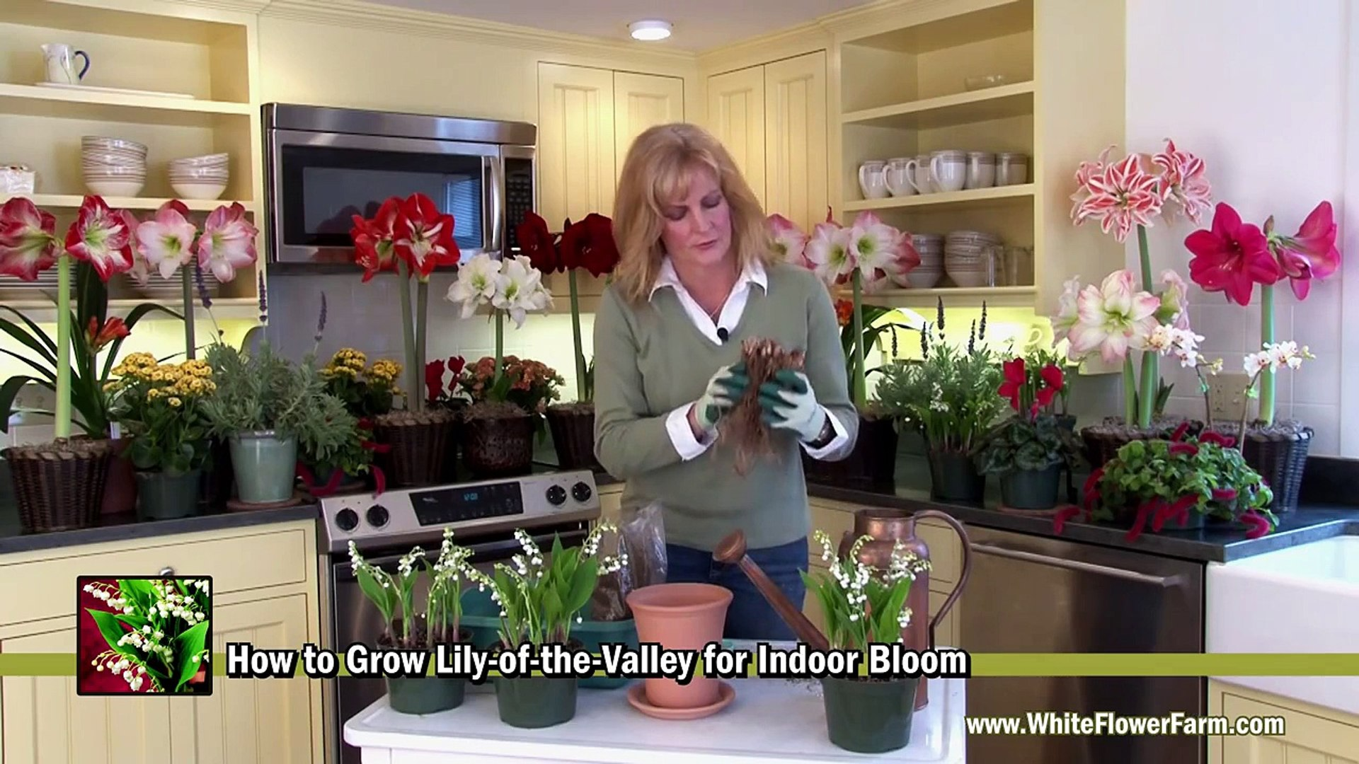 How to Grow Lily-of-the-Valley Indoors - White Flower Farm ... House Plant Lily Of The Valley on house plant banana, house plant candy cane, house plant dracaena, house plant sage, house plant caladium, house plant vinca, house plant fern, house plant strawberry, house plant datura, house plant dogwood, house plant asparagus, house plant cyclamen, house plant ivy, house plant azalea, house plant lime, house plant orchid, house plant ylang ylang, house plant eucalyptus, house plant thyme,