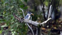 Belted Kingfisher, Ceryle alcyon,  preening, feeding, with fish