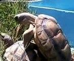 apareacion de tortugas-como lo hacen las tortugas-tortugas xxx-tortugas jejeje xD