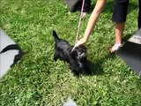 ADOPTED!! Chewy, a Cairn Terrier/Shih Tzu @ Pals Animal Sanctuary, Mo.