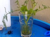 Rooting vine growing vegetable cuttings such as tomatoes, and winter squash in water. 6-25-2012