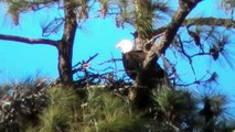 Sun City Eagles on Concession Oaks Drive now has a Eaglet. February 2015