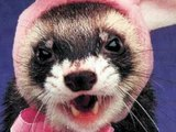 Pet Ferrets - Learn Why Ferrets are Cool!
