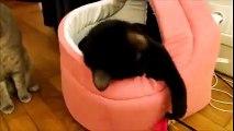 Hélios, chat noir, petit coeur tendre 9 mois [adopté]
