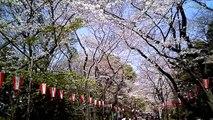 ''SAKURA'' 桜の上野公園 Cherry Blossoms in Ueno Park 【vado HD】