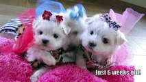 Tiny Maltese BENTLY EVA and ARWYN 1 pound Teacup Maltese puppies for sale