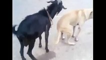 Animals mate Goat humping with dog Animal funny