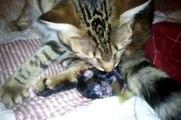 Kitten : chaton mise bas / Naissance de bébés