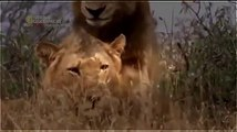 Animal Planet 2015 || Discovery Channel Documentary || Lion Strategies Documentary