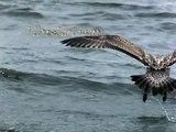Gull in flight   UltraSlo flight