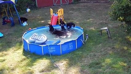 Une famille d'ours s'installe dans une piscine privée