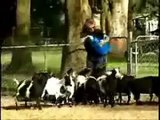 Shocking Fainting Goats News Report - Funny Goat Compilation of Screaming Goat by Funniest Animals