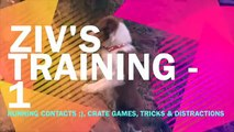 Ziv's - training 1: Running contacts, crate games, brain games & distraction
