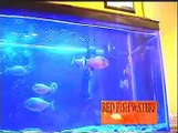 Piranhas 3 - Piranhas Eat a 12$ Pond Fish