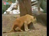 Siberian Tigers vs Lions Submissive Tigers part 2.