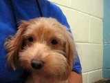 Meet Baby a Poodle Miniature currently available for adoption at Petango.com! 7/15/2015 11:25:21 AM