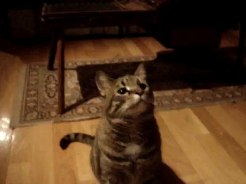 CAT TRICKS – smidgie does tricks