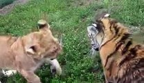 Animals Video - African Animals - A Man With Lions and Tiger - Lions Vs Tigers - Tiger Video - Lions