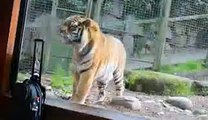 Animals Video - African Animals - Baby Tigers - Tiger Video - Tigers - Bengal Tiger - Cute Tigers