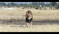 Lion Fight in the African Forest - Original recordings directly from Africa - RAW FOOTAGE