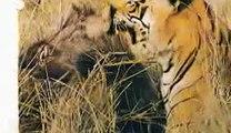 tiger attack boar - tiger attack pig - tiger kill boar - tiger kill pig - tiger vs boar