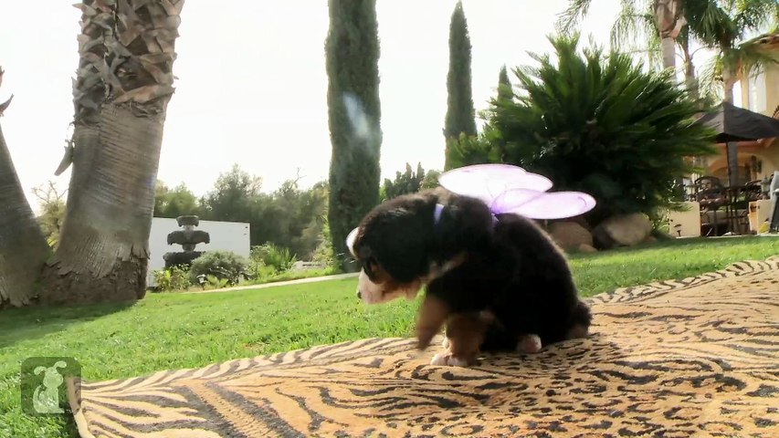 Bernese Mountain Puppy Grows Wings, Doesn't Learn To Fly