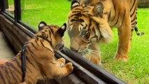 Des bébés tigres rencontrent un tigre adulte pour la première fois