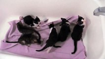 6 Cuddly Playful Kittens! Gray Tabbies & Tuxes!