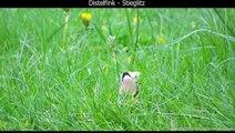 Distelfink / Stieglitz mit Gesang - European goldfinch singing - Carduelis carduelis (1080p HD)