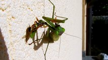 Praying mantis eating a wasp - mantide religiosa che mangia una vespa