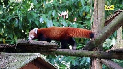 Le panda roux, un gros dormeur et fin gourmet !