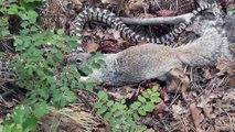 Hungriges Eichhörnchen attackiert Schlange   Eichhörnchen vs Schlange